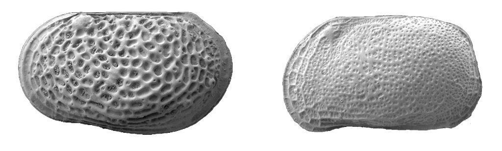 PetroStrat Micropalaeontology Biostratigraphy Ostracods