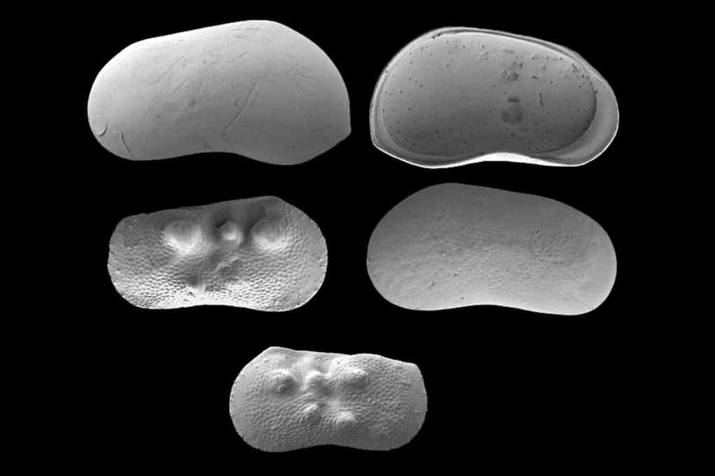 Paper Overview Lea Rausch Miocene stratigraphy and palaeogeography of the ancient Aegean Black Sea gateway Ostracods